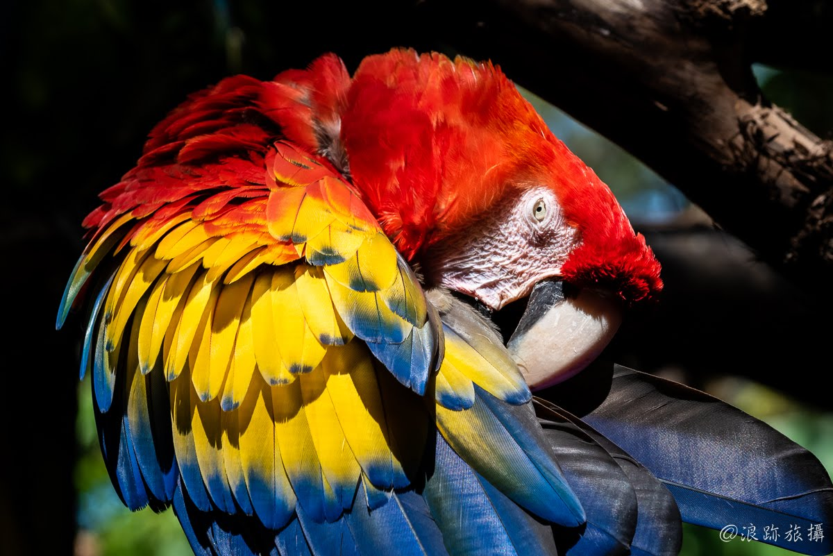 哥斯大黎加 Herpetological Refuge Costa Rica 緋紅金剛鸚鵡