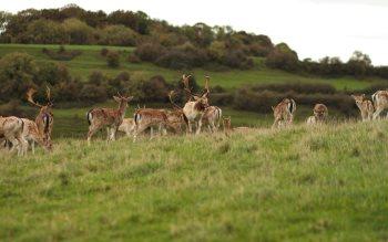 Wallpaper: Deer Herd
