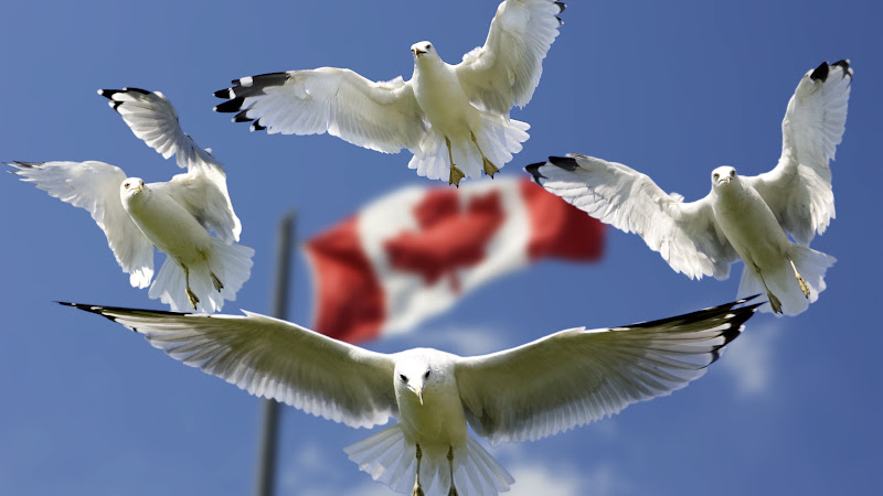 Gulls and Canada Flag in Background HD