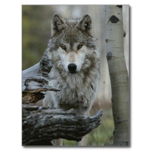 Gray Wolf Eyes | Beautiful Wildlife Photo Poster
