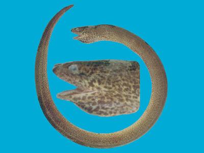 Anguila criolla Synbranchus marmoratus