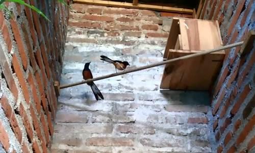 http://miefbird.blogspot.com/2017/04/perawatan-dan-pola-pakan-burung-murai.html