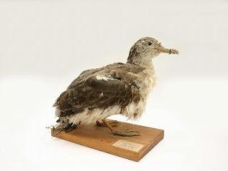http://museum-database.shimane-u.ac.jp/specimen/metadata/417
