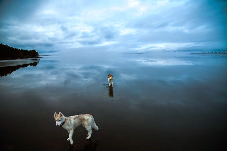 Magical Photos Of Siberian Huskies Playing On A Mirror