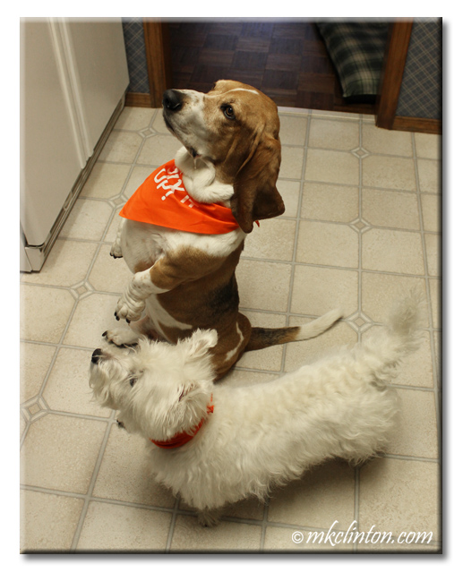 Bentley Basset is sitting up and Pierre Westie waits anxiously for food.