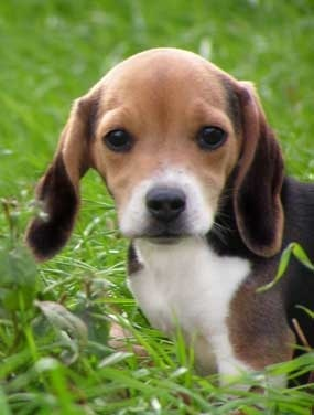 Pocket Beagle Puppies | Beagle Puppy