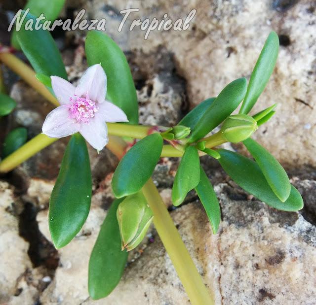 Otra fotografía de la planta suculenta Sesuvium portulacastrum