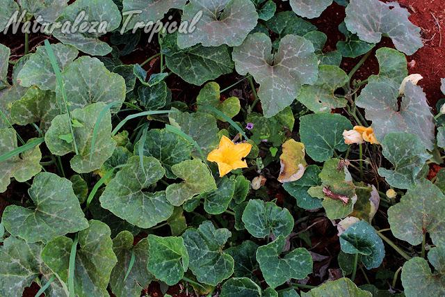 Vista de la planta Cucurbita pepo, Calabacín
