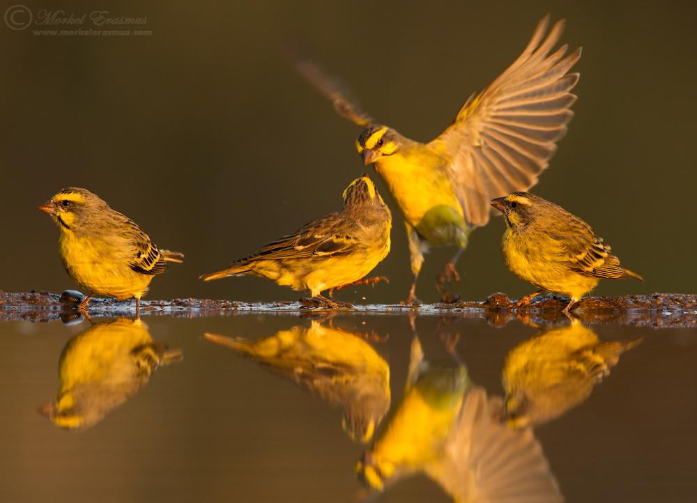 Canary Clan