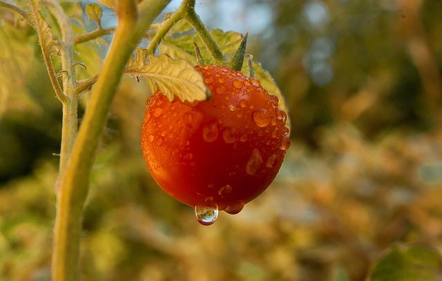 Les porte-greffes de la Tomate