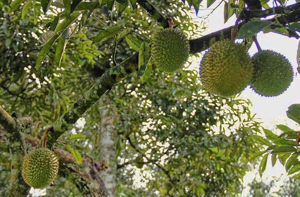 Tips Berkebun Durian Agar Cepat Berbuah