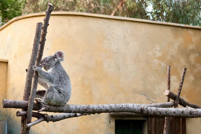 Koala del zoo de Madrid
