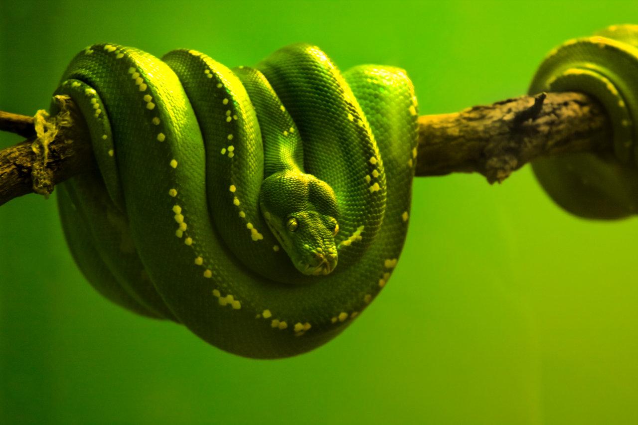 Wildlife Greentree Python Whipsnade Danger Snak