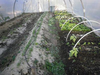 le potager des violettes plantation des tomates avril 2013. Black Bedroom Furniture Sets. Home Design Ideas