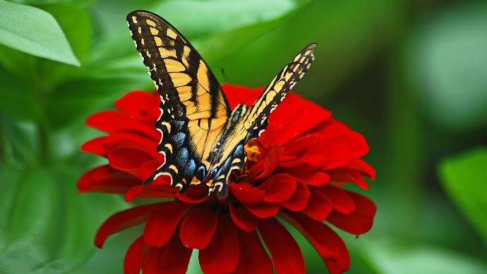 Wallpaper: Butterfly on the Red Flower