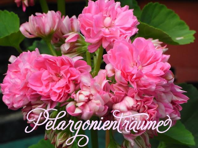 große-Rosenblütenpelargonie-Rosenpelargonie