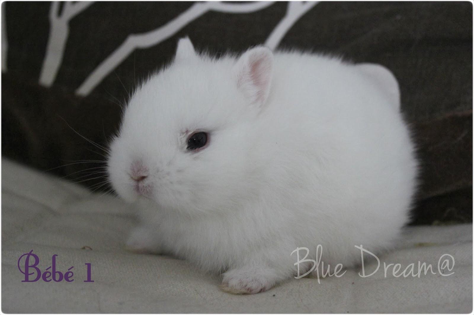 bebe lapin polonais yeux bleus