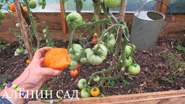 Экзотический фрукт, томаты, помидоры, сорта томатов, желтые томаты, аленин сад