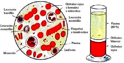 Imagen de la composición de la sangre a colores