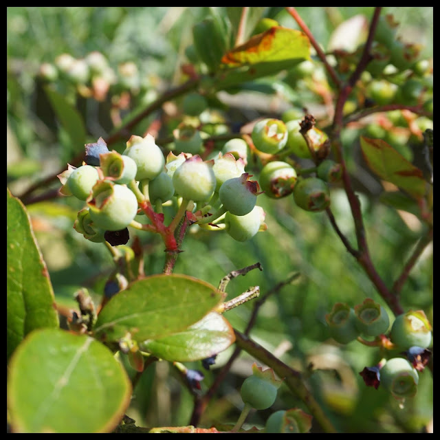 ripening blueberries- Carrie Gault 2018