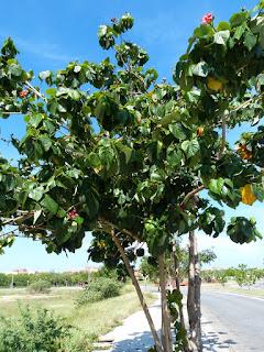 Hibiscus elatus - Talipariti elatum - Mahot bois bleu