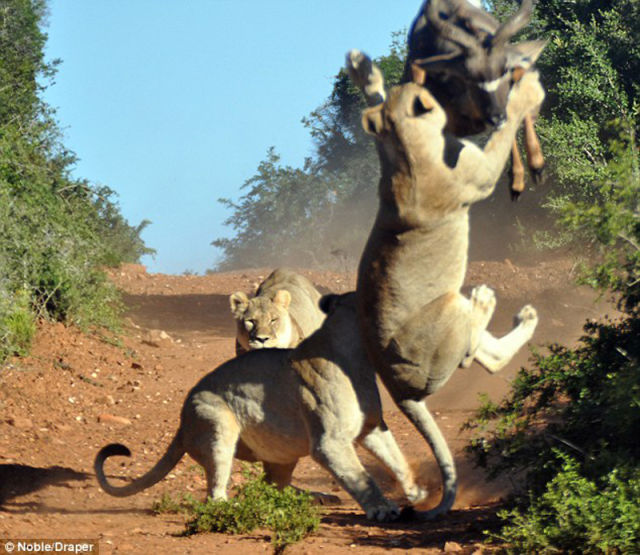 Funny Cool Pictures Antelope Vs Hungry Lions