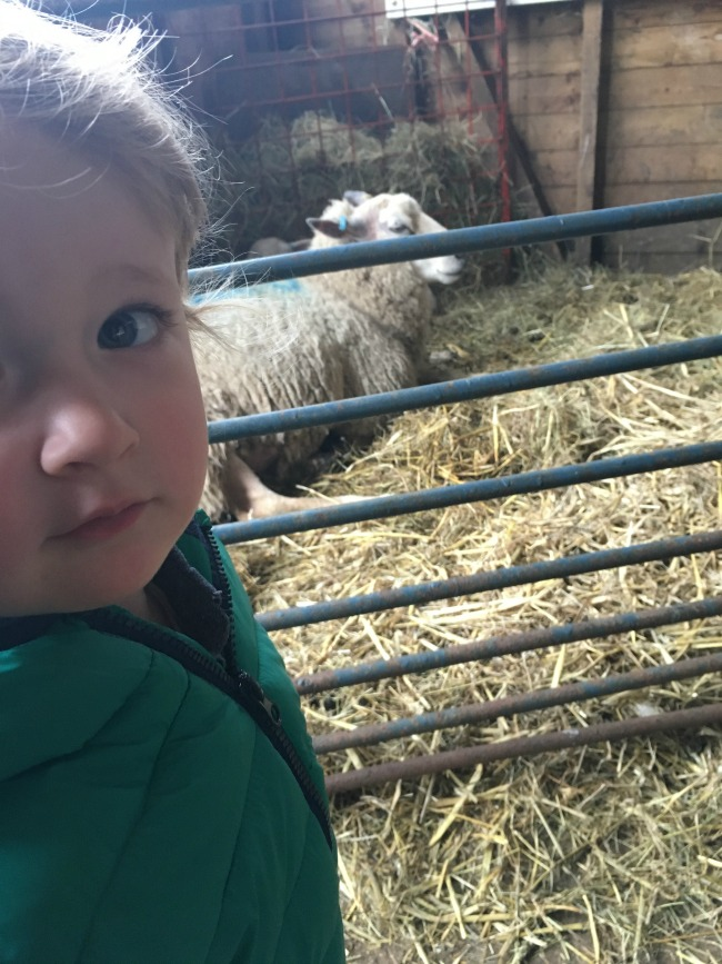 Tintern Abbey And Baby Lambs.Close up of toddler and sheep in background