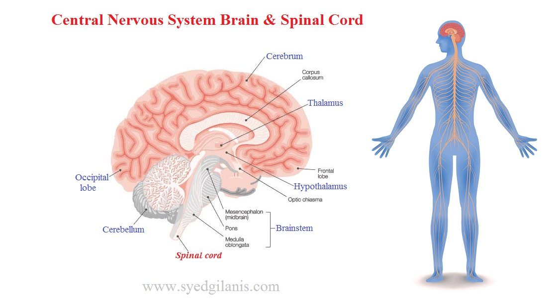Central Nervous System: Structure, Function, Brain ...