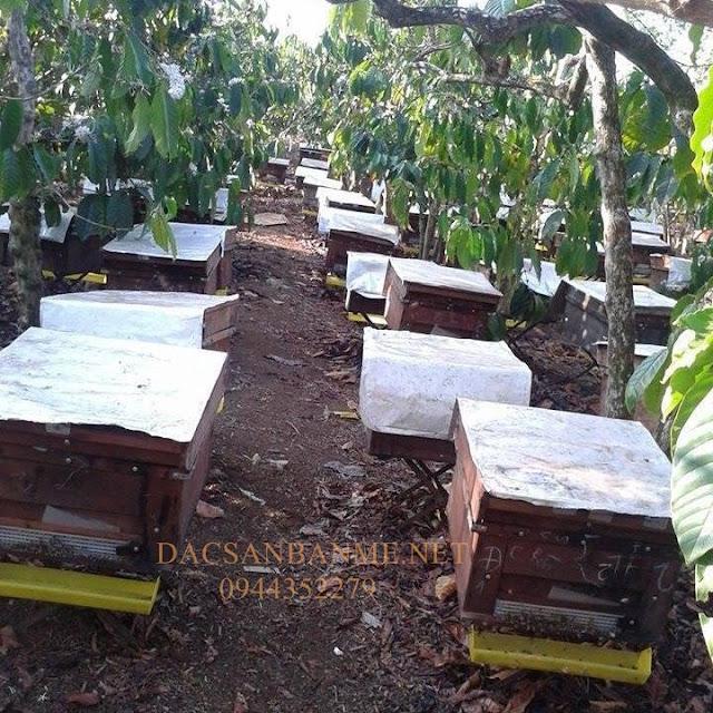 trại ong trong rẫy cà phê