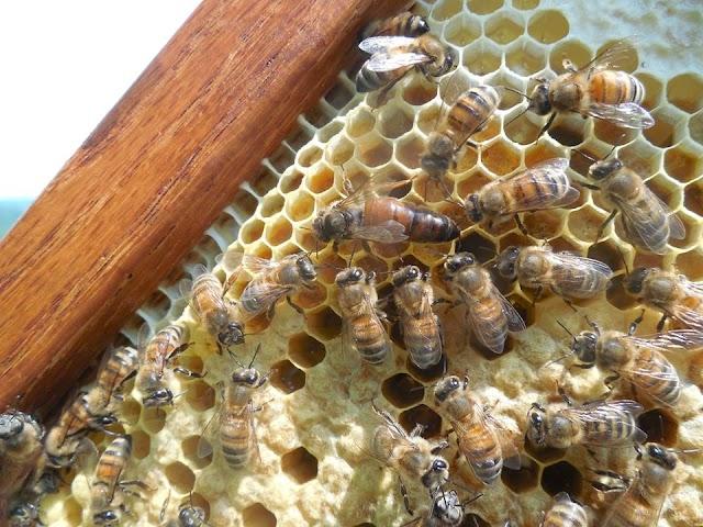 Χάνονται οι βασίλισσες: Συμβαίνει και σε άλλους μελισσοκόμους;