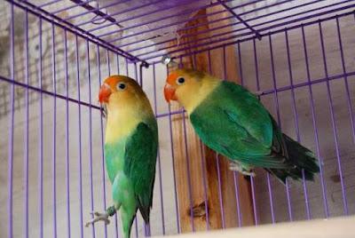 Rahasia Resep Racikan Pakan Burung Lovebird Paud Lomba Agar Ngekek Panjang