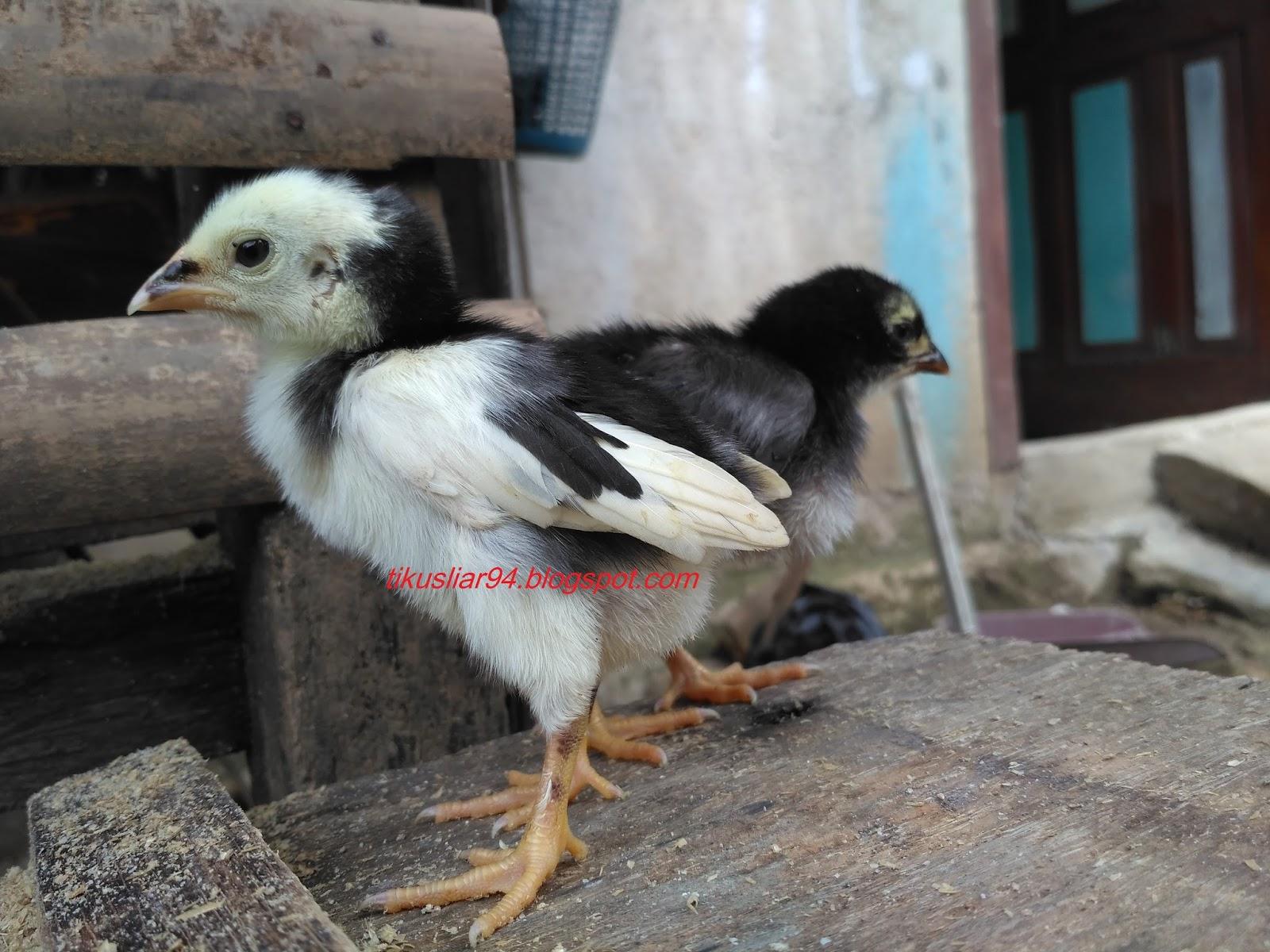 Cara Membedakan Jenis Kelamin Anak Ayam Jantan Atau Betina Terbaru Tikusliar Com