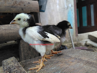 Cara Membedakan Jenis Kelamin Anak Ayam Terbaru