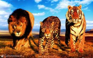 Perbedaan Harimau, Macan, dan Singa
