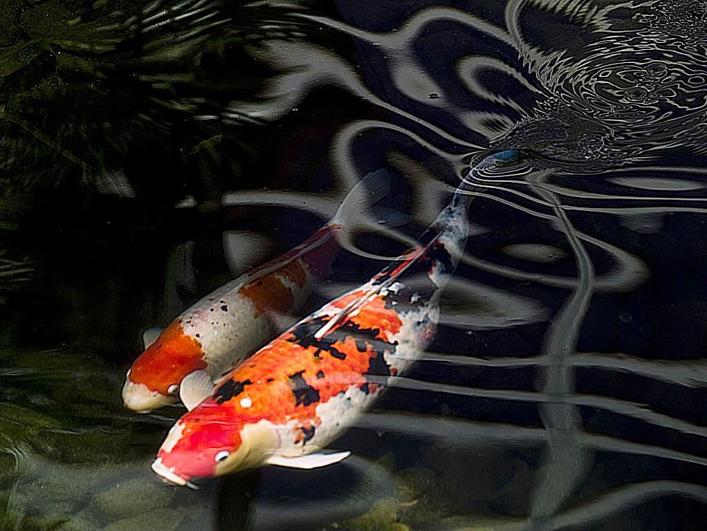 Jual Ikan Hias Koi di Bali: Sekilas Tentang Ikan Koi
