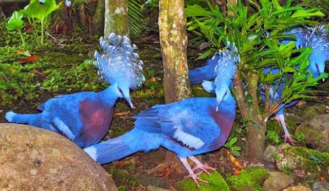 Mamburuk papua hewan endemik papua pulau terbesar Indonesia