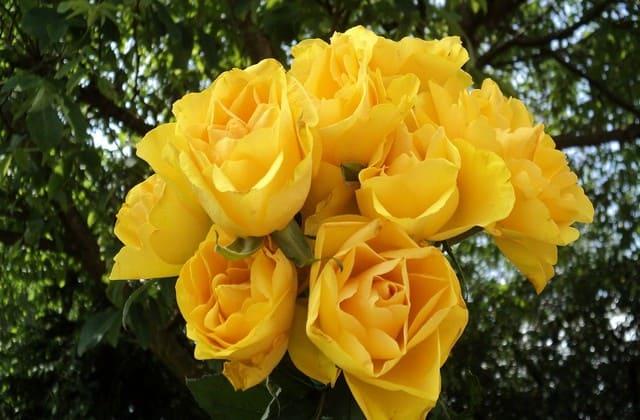 Mawar kuning juga jadi simbol kebahagiaan, bisa untuk hadiah di hari apa saja