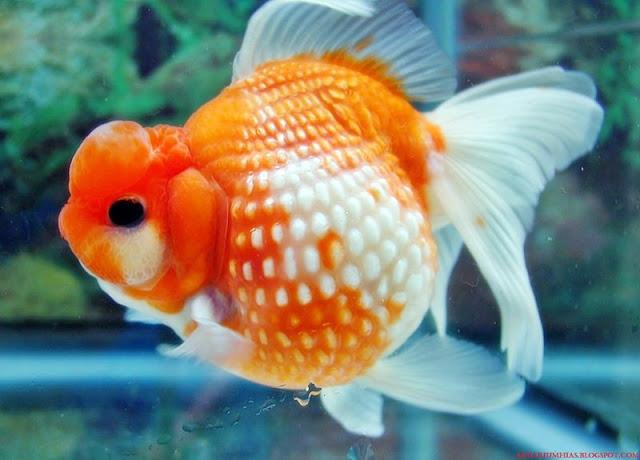 Harga Ikan Koki Mutiara