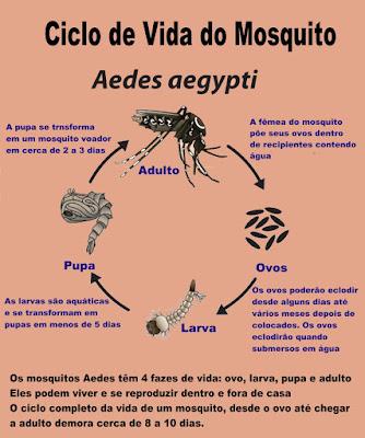 Infográfico ilustrando o ciclo de vida do mosquito Aedes aegypti.