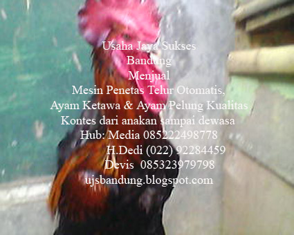 Harga Ayam Pedaging Di Bandung Harga Ayam Broiler Hari Ini Ardhi Borneo Gemilang Jasa Pengiriman Hewan Ayam Ketawa Mesin Penetas Telur Bandung