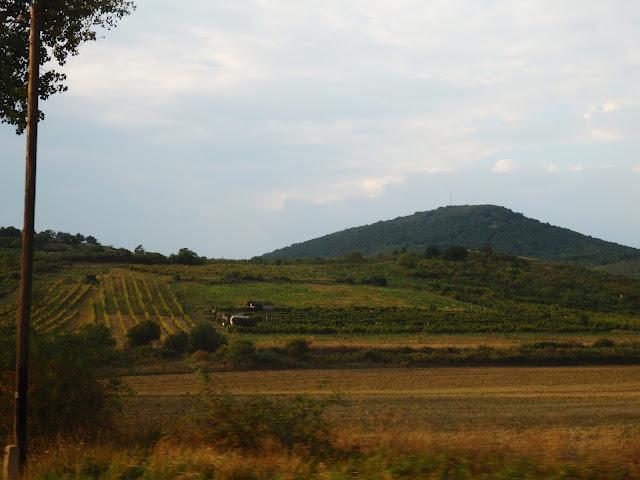 Region Tokaj (09.2016), zbiór winogron coraz bliżej