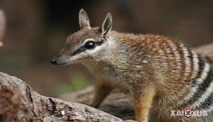 Binatang pemakan semut - Numbat