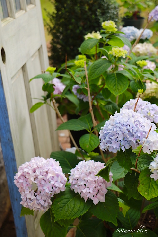 soil-ph-changes-color-of-hydrangea-blooms