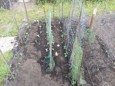 Allotment Growing - Peas