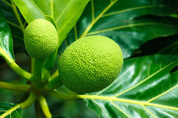 9 Manfaat minum rebusan daun sukun untuk kesehatan badan