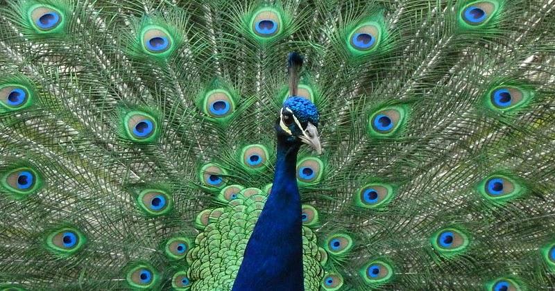 Cute Cartoon Animal Wallpaper Hd Peacock Most Beautiful Bird High Resolution Hd Wallpapers