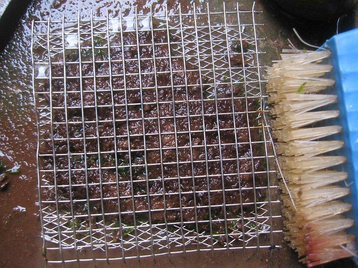 kinh nghiệm xử lý mini fiss thủy sinh bám đất lá cạn -  công đoạn làm sạch