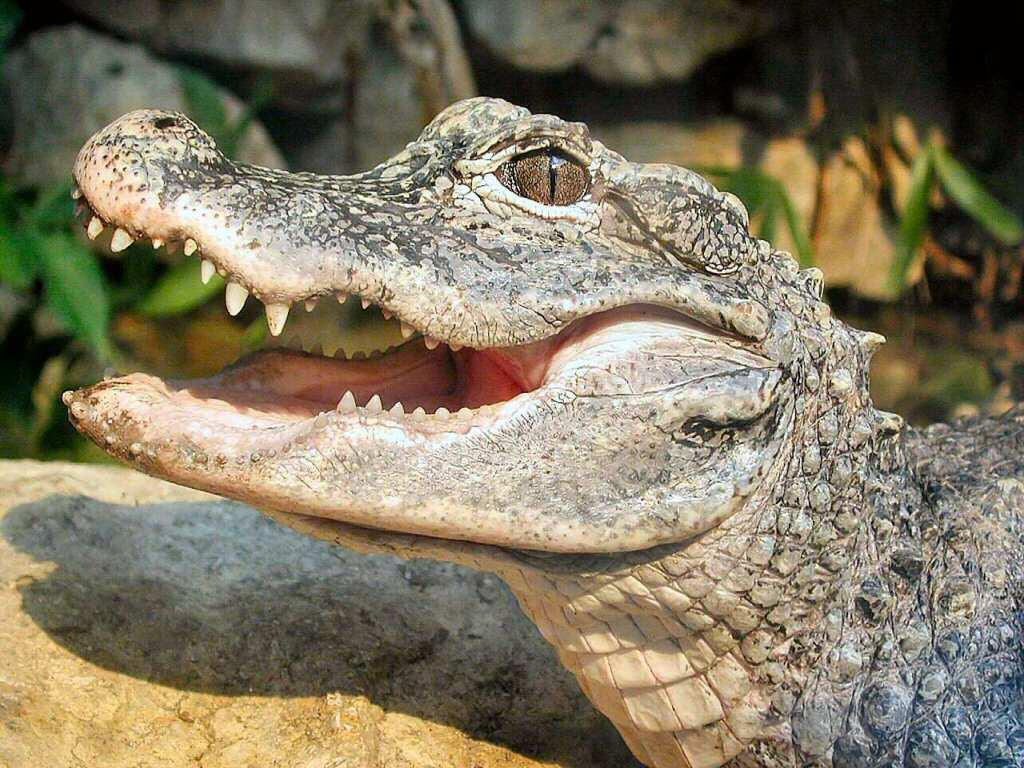 Alligatoa