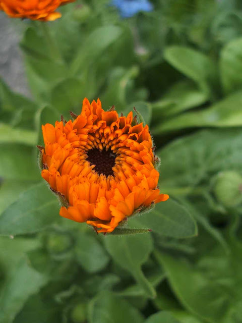 growing calendula plants from seed