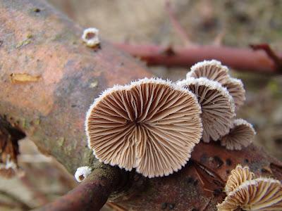 rozszczepka pospolita Schizophyllum commune